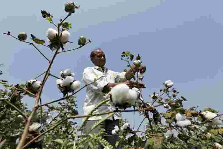 美国说,印度支付了比WTO更大的棉花补贴